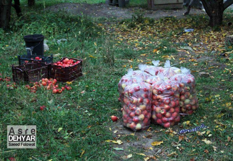 سیب اهر و باز هم قصه بی مهری ها
