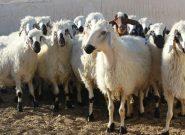 برخورد ام وی ام با گلّه احشام در مرند و کشته شدن ۲۱ راس گوسفند
